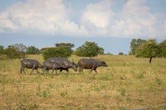 Un gruppo di bufalo sul loro habitat naturale, savanna Bekol, Baluran il parco nazionale di aluran è un'area di conservazione del immagine stock libera da diritti