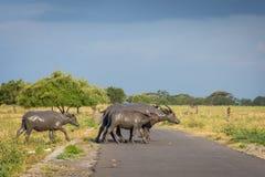 Un gruppo di bufalo sul loro habitat naturale, savanna Bekol, Baluran il parco nazionale di aluran è un'area di conservazione del fotografia stock libera da diritti