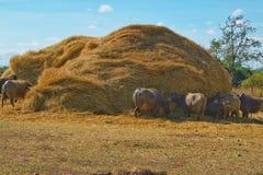 Un gruppo di Buffalo che mangia la paglia asciutta della pila Fotografia Stock