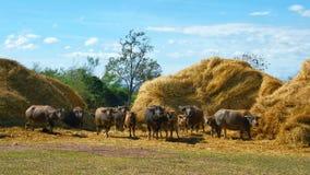 Un gruppo di Buffalo che mangia la paglia asciutta della pila Immagine Stock Libera da Diritti