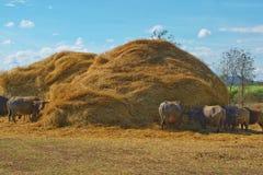 Un gruppo di Buffalo che mangia la paglia asciutta della pila Fotografie Stock Libere da Diritti