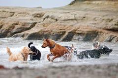 Un gruppo di cani che giocano nell'oceano immagine stock libera da diritti