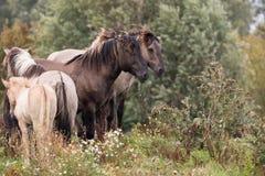 Un gruppo di cavalli del konik Immagini Stock