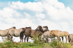 Un gruppo di cavalli 2 di Konik Fotografia Stock Libera da Diritti