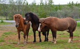 Un gruppo di cavalli islandesi Fotografie Stock Libere da Diritti