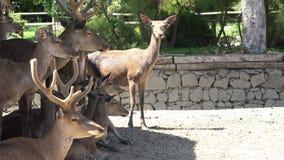 Un gruppo di cervi che riposano nel parco stock footage