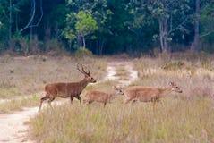 Un gruppo di cervi di Eld Fotografia Stock Libera da Diritti