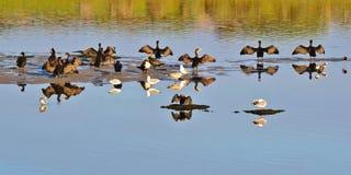 Posto di secchezza per i cormorani Immagine Stock