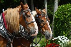 Un gruppo di due cavalli da tiro sull'isola di Mackinac Fotografie Stock
