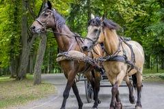 Un gruppo di due giovani cavalli in un cablaggio con un carretto fotografia stock