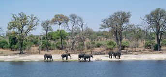 Un gruppo di elefanti viene avanti il fiume da bere Sono Abo immagini stock libere da diritti