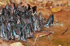 Un gruppo di farfalle blu Fotografia Stock Libera da Diritti
