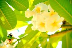 Un gruppo di fiore di plumalia Fotografia Stock Libera da Diritti