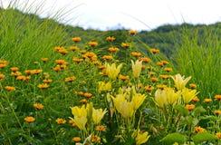 Un gruppo di fiori e di gigli gialli fra l'alta erba verde Immagini Stock