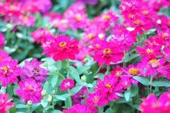 Un gruppo di fiori fucsia di fioritura fotografia stock