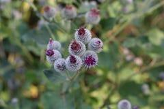 Un gruppo di fiori porpora della bardana Immagine Stock