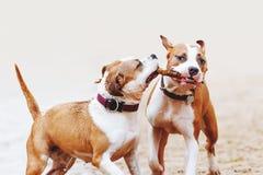 Un gruppo di forti terrier di Staffordshire americano gioca con un bastone Due cani che saltano lungo la spiaggia fotografia stock libera da diritti
