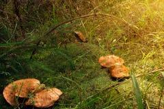 Un gruppo di funghi con una testa rossa si sviluppa in muschio Immagine Stock