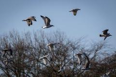 Un gruppo di gabbiano di volo Fotografia Stock