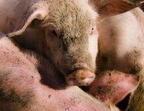 Un gruppo di grandi maiali bianchi Immagine Stock Libera da Diritti