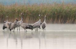 Un gruppo di gru (gru di gru) che stanno nell'acqua del lago immagine stock libera da diritti