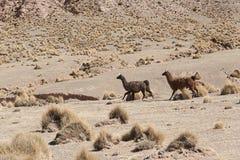 Un gruppo di lama & di x28; alpaca& x29; pascendo negli altopiani nel bello paesaggio delle montagne delle Ande - Bolivia Immagine Stock Libera da Diritti