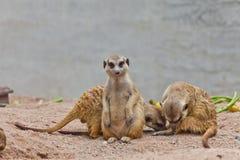 Un gruppo di meerkat Fotografia Stock