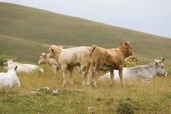 Un gruppo di molte mucche neonate nella natura Fotografia Stock Libera da Diritti
