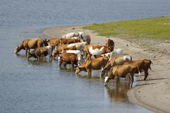 Un gruppo di mucche Immagine Stock Libera da Diritti