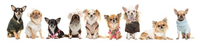 Un gruppo di nove cani della chihuahua che indossano i vestiti isolati su un bianco Immagini Stock