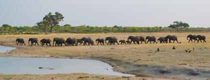 Un gruppo di numerosi elefanti che vengono al foro di acqua al grink fotografia stock libera da diritti