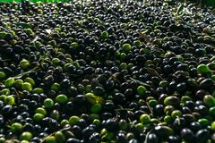 Un gruppo di olive mature pronte ad essere elaborato in olio immagine stock