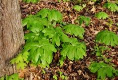 Un gruppo di ombrello ha modellato le piante del mayapple in una foresta Immagine Stock