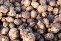 Un gruppo di patata Fotografia Stock
