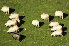 Un gruppo di pecore Fotografia Stock