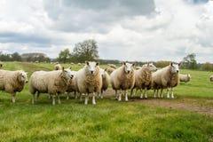 Un gruppo di pecore inglesi bianche in un campo Immagini Stock