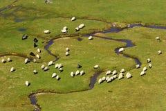 Un gruppo di pecore su un fiume della montagna Immagine Stock Libera da Diritti