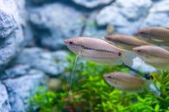 Un gruppo di pesce di gorami nero dello snakeskin in un acquario privato immagini stock libere da diritti