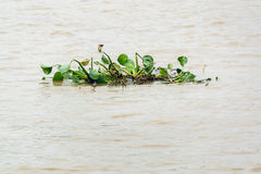 Un gruppo di piante del giacinto d'acqua in fiume Immagini Stock Libere da Diritti