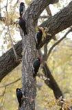 Un gruppo di picchi della ghianda in un albero Immagine Stock Libera da Diritti