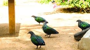 Un gruppo di piccione di Nicobar che sta sulla terra del suolo Fotografia Stock Libera da Diritti