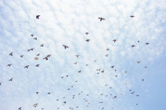 Un gruppo di piccioni Fotografie Stock