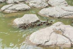 Un gruppo di piccole anatre che nuotano sullo stagno Immagine Stock