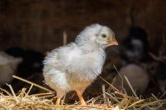Un gruppo di piccoli pulcini svegli cammina nel pollaio Chiuda su di variopinto pochi vecchi polli dei giorni con la loro madre i Immagine Stock