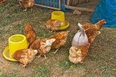 Un gruppo di polli Immagini Stock Libere da Diritti
