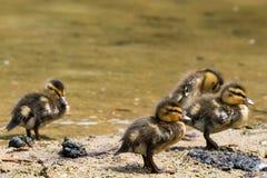 Un gruppo di quattro Chicklets delle anatre selvatiche (Mallard) Fotografia Stock Libera da Diritti