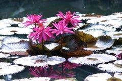 Un gruppo di quattro fiori di loto con il rosa lascia la crescita in uno stagno Fotografia Stock