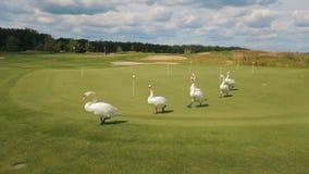 Un gruppo di sei cigni bianchi cammina tranquillamente uno per uno su un prato inglese verde di un campo da golf video d archivio