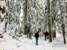 Un gruppo di snowshoers che fanno un'escursione attraverso una bella, foresta maestosa del cedro di vecchia crescita fotografia stock libera da diritti