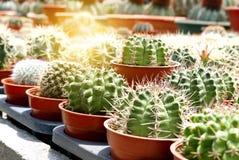 Un gruppo di succulente del cactus in vaso in una fila Fotografia Stock